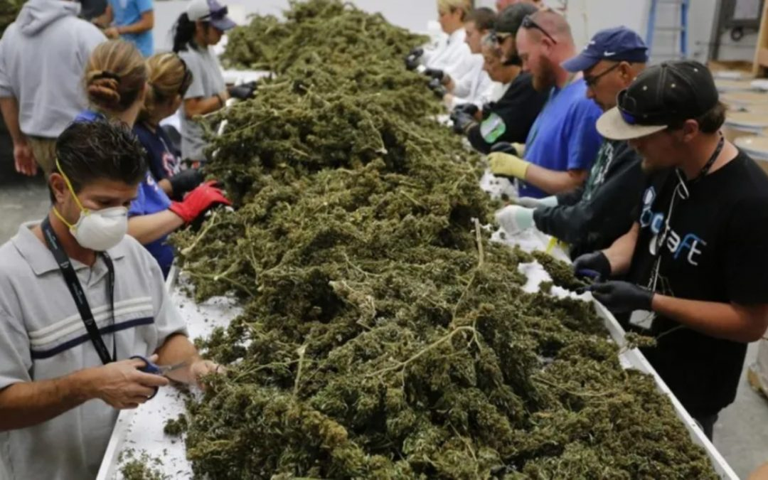 250,000 Jobs in the US have been created from the legal Cannabis Industry